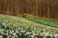 Daffodil ColorFest