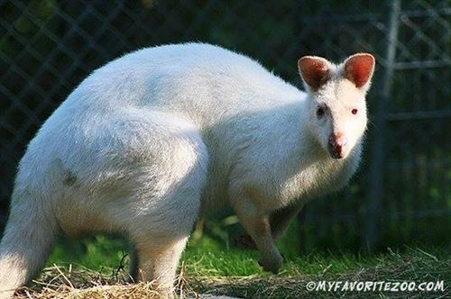 Gallery Image Albino_Wallaby.jpg