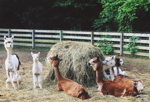 Gallery Image Alpacas_and_Llamas_in_Farm__(1).JPG