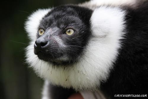 Gallery Image Black_and_White_Ruffed_Lemur_Silas_(7).JPG