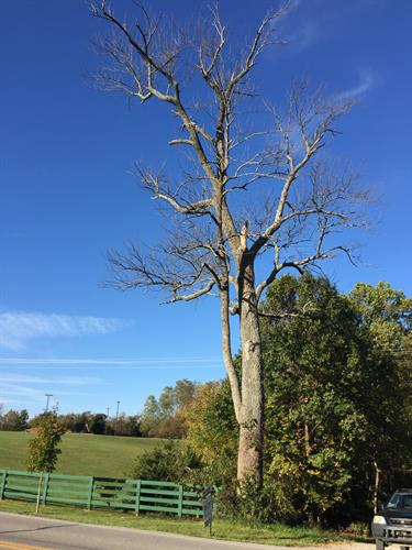 150 year old Ash tree removal.'