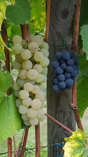 Gallery Image grapes.jpg