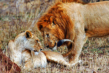 Lions of the Serengeti, Tanzania