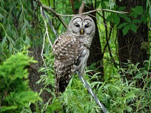 Gallery Image barred_owl_July2016_VivienneStrauss-300x225.jpg