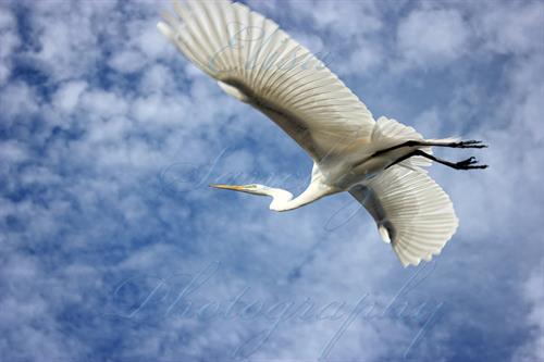 # 209 - egret in flight