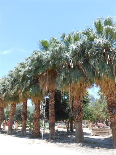 Washingtonia filifera California fan Palms Sonoran Desert Native