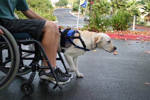Dog pulling a manual wheelchair