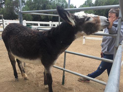 Daisy our most recent rescue donkey thriving under the care at Laughing Pony Rescue