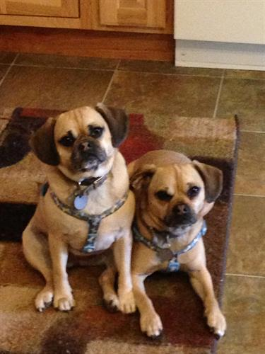 Lily and Daisy, the puggles giving lots of support in animal assisted activities.