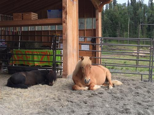 Mini Breezy and Icelandic horse Kisi resting at the barn.
