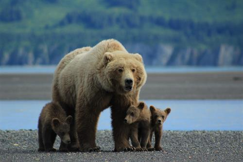 Gallery Image Mom_with_cubs_scenic.jpg
