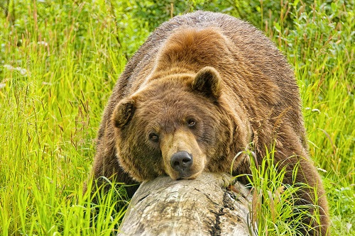 Brown bear takes a rest. Photo credit Visit Anchorage/Wayde Carroll.