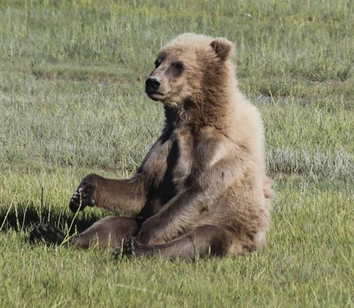 bear relaxing