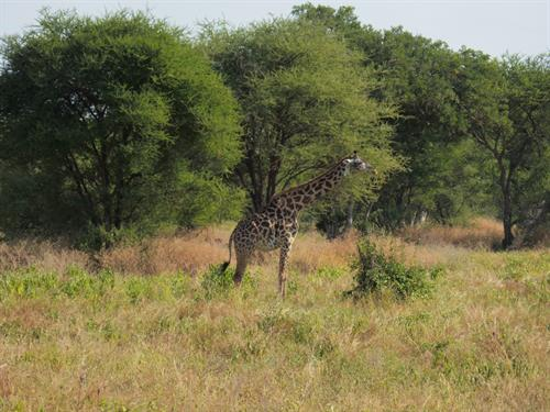 Giraffes, just one of the many animals to see on a safari