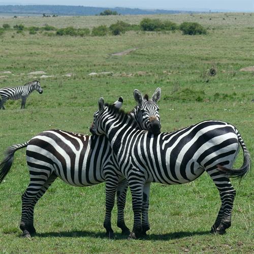 Zebras often rest their heads on their friends backs!