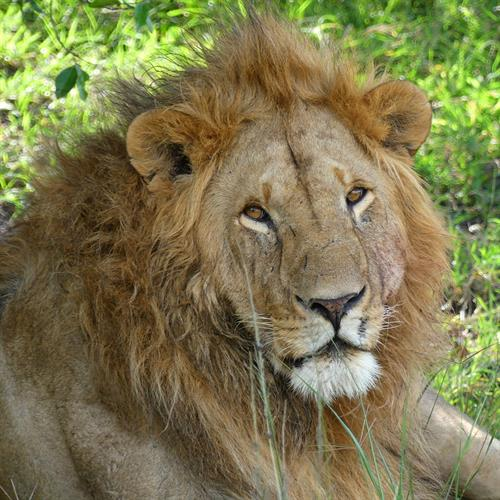 It ain't easy being king! Male lions can sleep up to 20 hours a day!