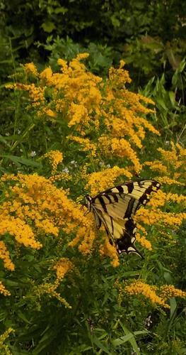 Gallery Image Butterfly_full_(002).jpg