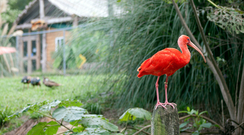 A Scarlet Ibis at Sylvan Heights Bird Park