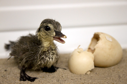 A new duckling hatches at the Avian Breeding Center