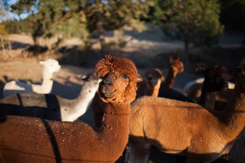 Alpacas on the ranch - so much fun