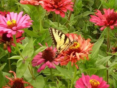 Gallery Image butterfly_zinnia.jpg