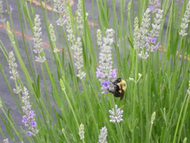 Gallery Image lavender_bee.jpg