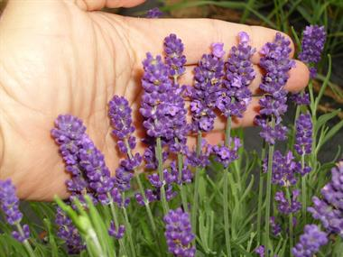 Gallery Image lavender_in_hand.jpg