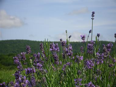 Deep Creek Lavender Farm | Crafts & Souvenirs | Family