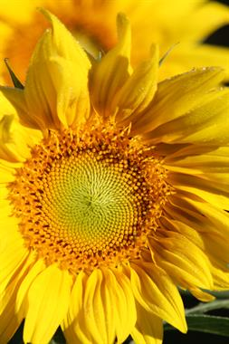 From mid August to mid September the sunflowers are a sight to behold, bringing passerbys with cameras and canvas.