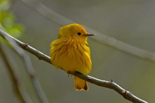 Gallery Image yellow_warbler_(1).jpg