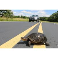 Motorists Reminded to Use Caution to Avoid Turtles This Spring