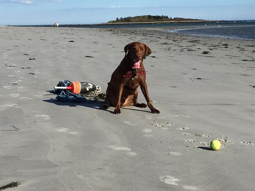 Cooper enjoying a tennis ball on the beach