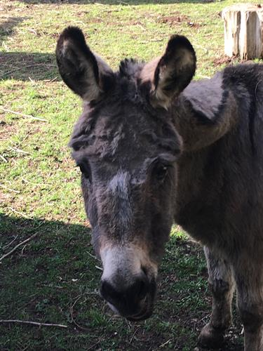 Our mini donkey, Donna