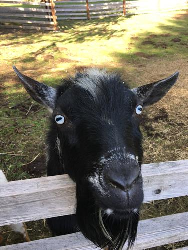 Sparky the Goat