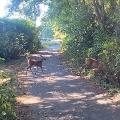 Deer crossing the trail on the Morse Creek ride.