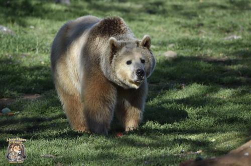 Albert, Lions Tigers & Bears' rescued Grizzly Bear