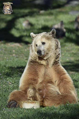 Cherry Bomb, Lions Tigers & Bears' rescued Grizzly Bear