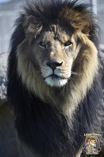 Bakari, Lions Tigers & Bears' rescued lion