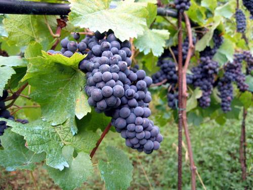Zinfandel Grapes at Maness Vineyards