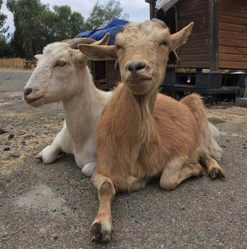 Our resident goats never miss a chance to connect with visitors!