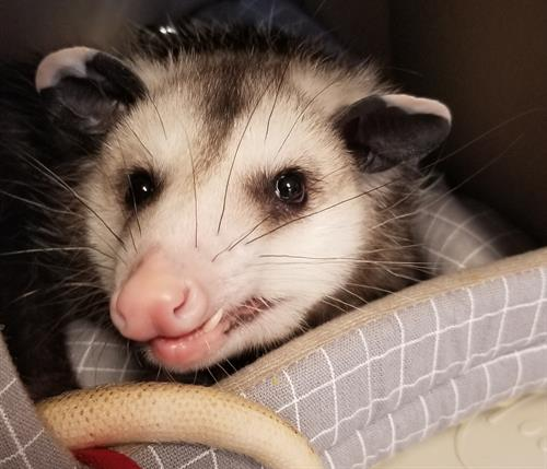 Mulligan the Virginia Opossum