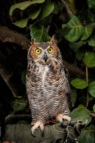 Bella the Great Horned Owl