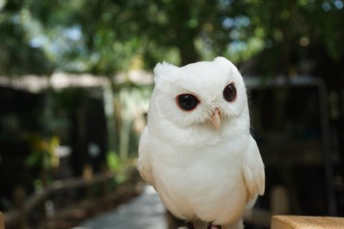 The star of PRWC (at least in his min), Luna the Leucistic Eastern Screech Owl