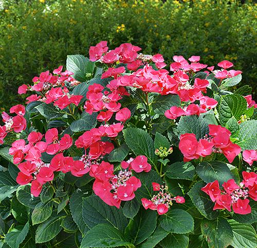 Gallery Image cherry-explosion-hydrangea-shrub.jpg