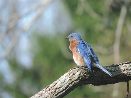 Resident Bluebird.