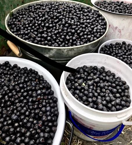 Gallery Image thumbnail_IMG_6692_Aronia_berries_in_buckets.jpg