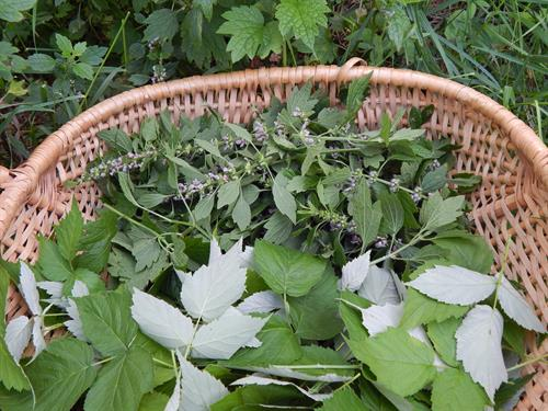 Motherwort and raspberry leaves - Herbs for Women class