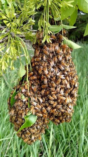 Another smaller Swarm we found in a tree and captured 2017