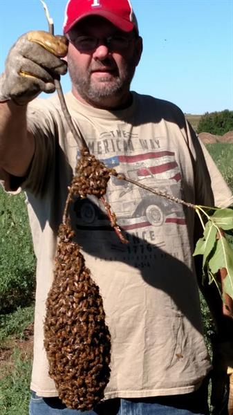 A smaller Swarm Mike found in a tree we captured 2016