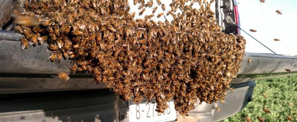 A larger swarm we captured 2017